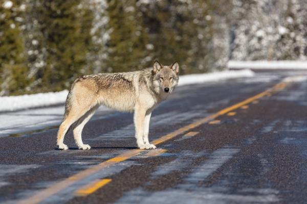Wolf in Wyoming.