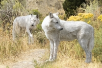 Who's Afraid of the Big, Bad Wolf?: Wolves Belong Back Home in Colorado